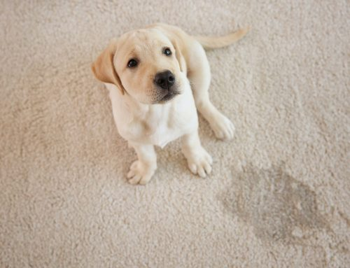 Carpet Cleaning Sydney – Clean Pet Urine Off Your Carpets