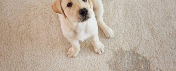 A dog sitting on a wet carpet spot