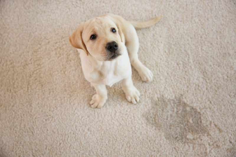 A dog sitting on a wet carpet spot